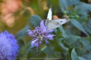 Cabbage White Butterfly on Agastache