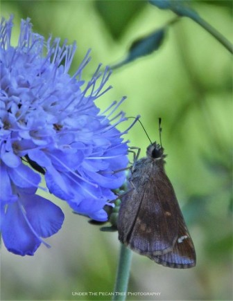 Skipper on Scabiosa/Pincushion