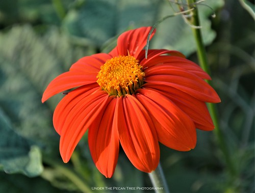 Mexican Sunflower (Tithonia diversifolia) I