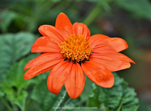 Mexican Sunflower (Tithonia diversifolia) II