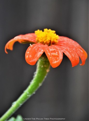 Mexican Sunflower Droplets