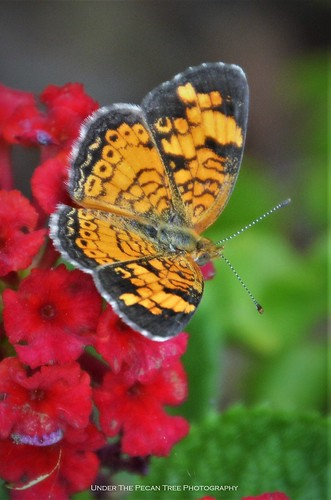 "Pearl Crescent Butterfly on Lantana ""Dallas Red"""