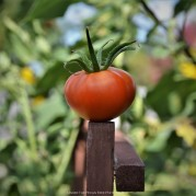 The last tomato, before I've got rid of the plants tonight.