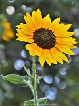 Every year, I love the sunflowers in our garden. It's a must to sow some for each Summer season.