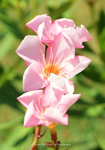 Oleander Blossoms III