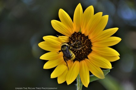 A huge bumble bee pollinates the sunflowers.