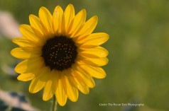 A Common Sunflower in the hot August Summer Sun