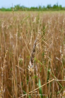 A grain between grasses