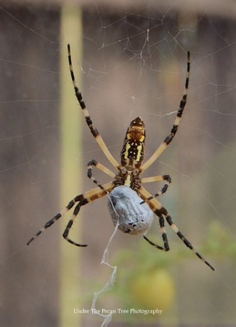 """Zippy"" the garden spider, which lives in my greenhouse, caught herself a big meal one morning. When I came in, she had it wrapped up already."
