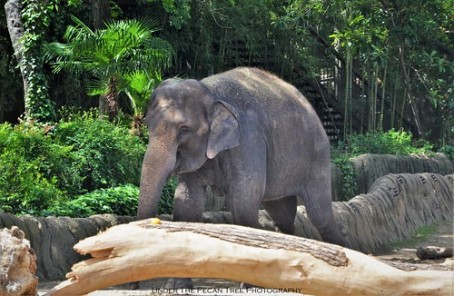 Indian Elephant in Fort Worth Zoo