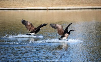 "Tower: ""The water runway is cleared!"" - Goose: ""Roger that, tower! We are coming in for a splash landing!"""