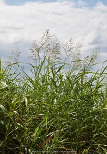 Johnson Grass (Sorghum halepense)