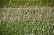 Native Southwestern Grass