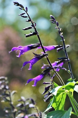 "Anise Sage ""Black & Blue"" (Salvia guaranitica) II"