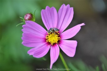 Leaf-cutter Bee on Cosmos