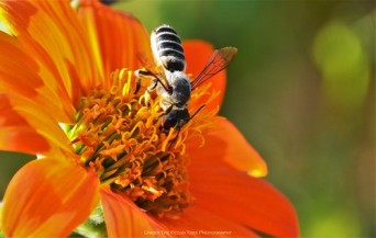 Leaf-cutter Bee on Mexican Sunflower
