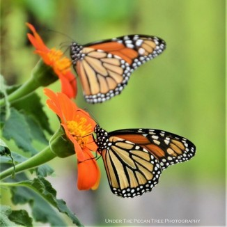 Monarch Butterflies on Mexican Sunflower in Texas Discovery Garden, before their migration to Mexico (I)