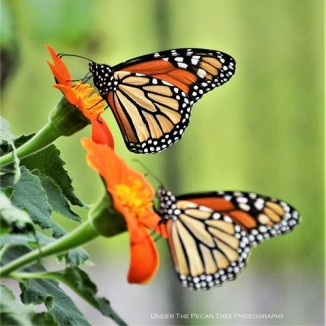 Monarch Butterflies on Mexican Sunflower in Texas Discovery Garden, before their migration to Mexico (II)