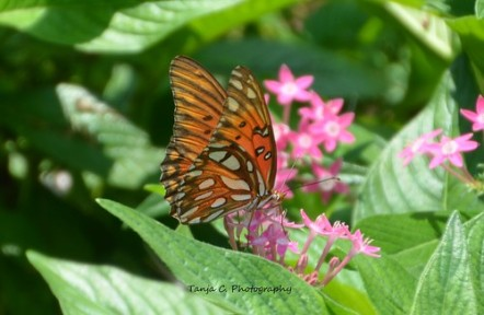 Gulf Fritillary (Agraulis vanillae) on Pentas in the Dallas Arboretum and Botanical Gardens I