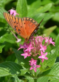 Gulf Fritillary (Agraulis vanillae) on Pentas in the Dallas Arboretum and Botanical Gardens II
