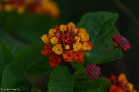 "Lantana ""Dallas Red"""