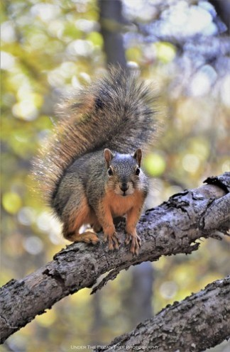Fox Squirrel at Arbor Hills Nature Preserve I