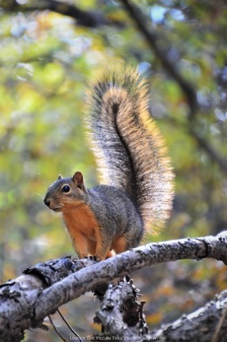 Fox Squirrel at Arbor Hills Nature Preserve II