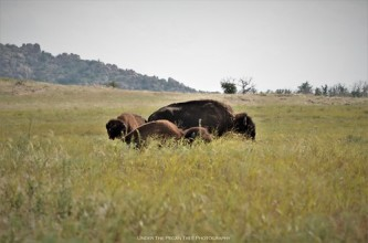 American Bison resting in the Oklahoma Prairie I