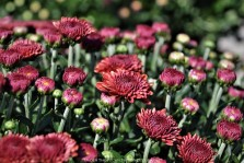 Ruby-colored Chrysanthemums