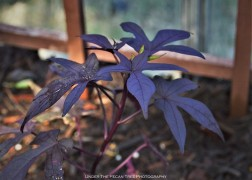 """Blackie"" Sweet Potato Vine (Ipomoea batatas)"