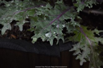 Ornamental Kale Rain Drops