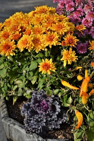 Autumn Chrysanthemums, Ornamental Kale & ornamental Peppers