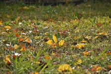 Autumn Ash foliage on the ground