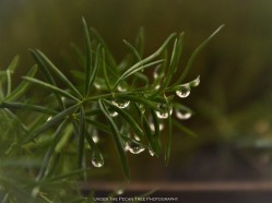 Asparagus Fern Dew Droplets