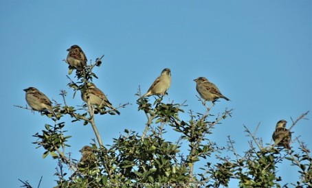 The House Sparrows warm their feathers in the Autumn Sun.