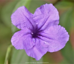 Dwarf Ruellia at the Texas Discovery Gardens I