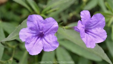 Dwarf Ruellia at the Texas Discovery Gardens II
