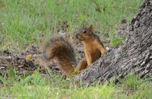 The fox squirrel looks for a good spot to store a pecan.