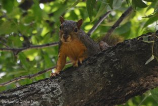 This Texas fox squirrel keeps a close eye on me.