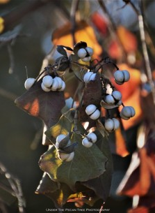 Chinese Tallow Berries