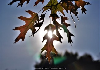 The morning sun viewed through the Autumn Red Oak Leaves