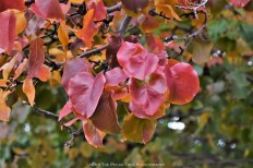 Autumn Bradford Pear Leaves I