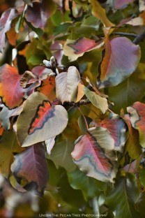 Autumn Bradford Pear Leaves II