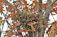 Nest for Rent! Needs a little work and preparation for the following Spring; sits in a beautiful tree surrounded by oak leaves and is hard to reach for predators. Nest can make a beautiful nursery for up to five bird children. First comes, first serves!