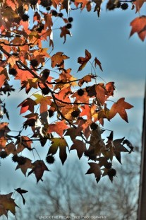 Autumn Sweet Gum Leaves