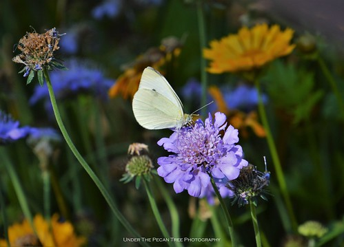 Cabbage White Butterfly on Scabiosa