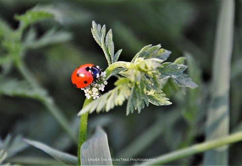 Seven-spotted Ladybug on Wild Carrot